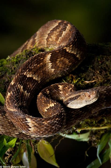7 Most Poisonous Animals by Best 25 Pit Viper Ideas On