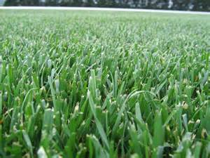 tall fescue lawn care website of peyeduet