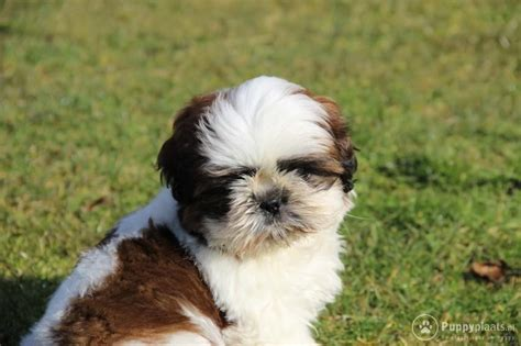 shih tzu rescue syracuse ny shih tzu puppies 250 00 and lovely shih tzu puppies for sale to breeds picture