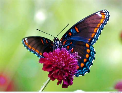 tato kupu kupu cantik gambar kupu kupu lengkap kumpulan gambar lengkap