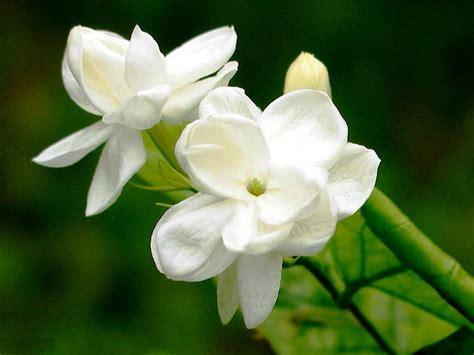 gambar bunga melati  cantik tempat  dikunjungi