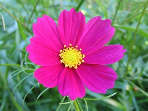 flowers photos flower picture cosmos flower