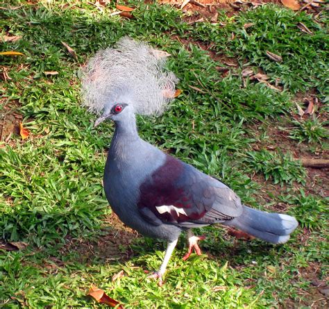 Shoo Dove Di Indo pigeon couronn 233 wiktionnaire