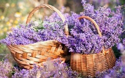 lavanda coltivazione in vaso come coltivare la lavanda in giardino e in balcone in vaso