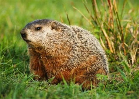 How To Keep Groundhogs Out Of Garden by How To Keep Rabbits Out Of The Garden Deer Groundhogs