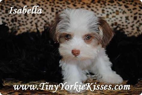 tiny yorkie kisses reviews chocolate parti morkie yelp