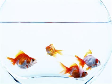 wallpaper goldfish goldfish wallpapers wallpaper cave