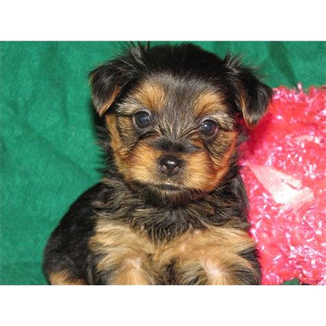 yorkie puppies for sale in riverside ca teacup yorkie riverside ca breeds picture