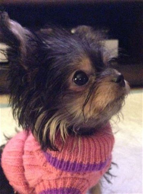 chorkie haircut styles 17 best ideas about yorkie hairstyles on pinterest boo