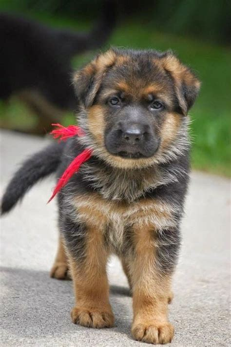 dogs like german shepherd 17 best images about german shepherd on beautiful dogs german shepherd
