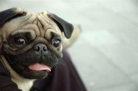 cani piccola taglia pelo corto da appartamento cani di taglia piccola tutte le razze foto nanopress