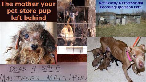 puppy mill vs breeder backyard breeders 28 images backyard a serious problem west virginia