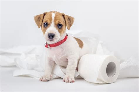 potty a new puppy getting a new puppy here are 5 tips for potty