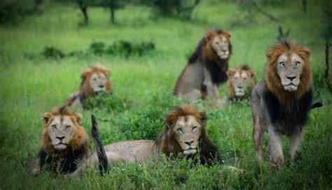 imagenes manada leones sud 225 frica manada de leones salvajes devora a cazador