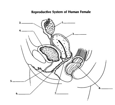 anatomy coloring book reproductive system free coloring pages of reproductive system