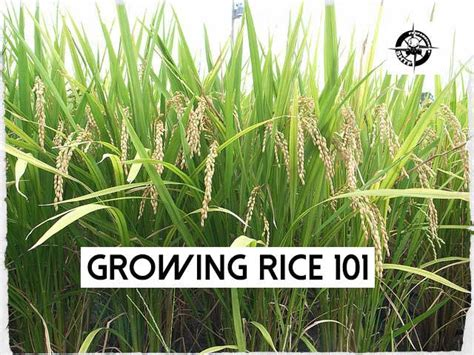 growing rice 101 free pdf shtf prepping central