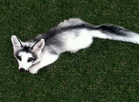 fox breed 7 of the most beautiful fox breeds you ve seen