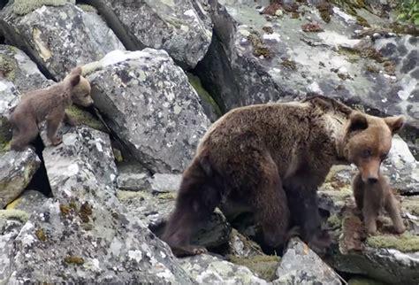 oso pardo oso pardo 0805069011 expedici 243 n oso pardo