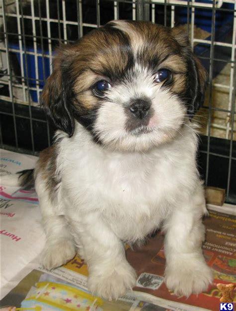 shih tzu puppies 32061
