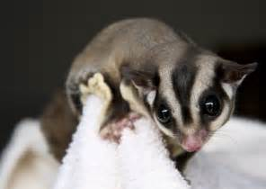the animal cabin sugar gliders as exotic pets