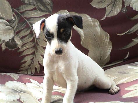 rat terrier puppies terriers