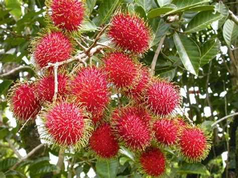 Bibit Rambutan Rapiah rambutan the most fruit in the world
