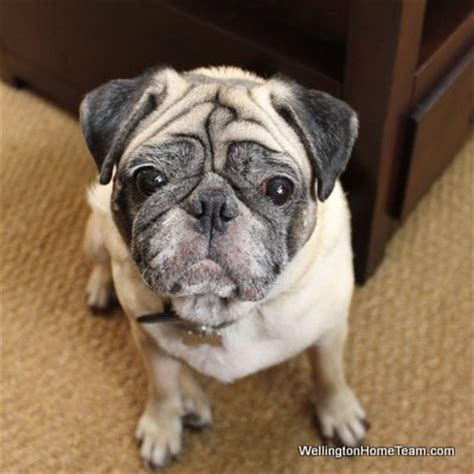 compassionate pug rescue south florida who s the best veterinarian in wellington florida