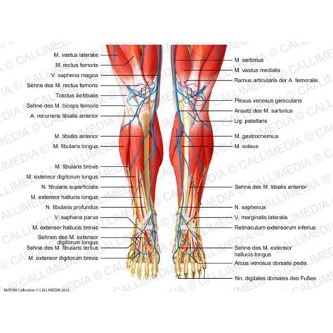 rechtes bein schmerzt beim liegen knie bein fu 223 vorderansicht muskeln blutgef 228 223 e und