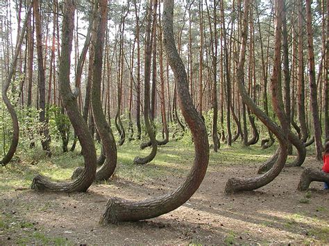 crooked forest in western poland mysterious facts tywkiwdbi quot tai wiki widbee quot the quot crooked forest quot of