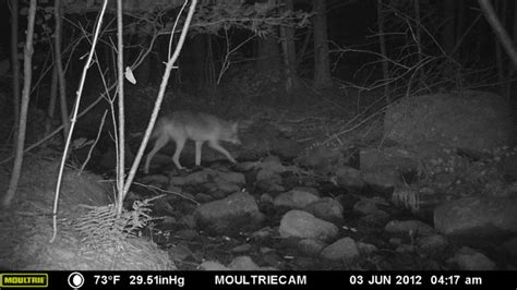 split rock wildway scouting the adirondack parkâ s most diverse wildlife corridor books split rock wildlife sightings bobcat coyote