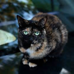 20 cool pictures of calico cats