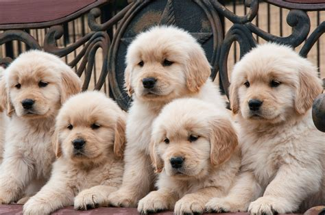 where to buy golden retriever puppy where to find a golden golden retriever club of america