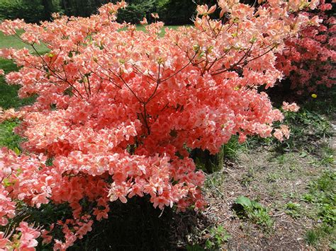 what color is azalea orange color azalea flickr photo