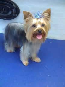 hairstyles for yorkies yorkie haircuts