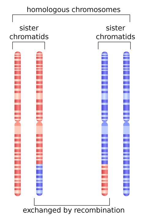 Chromosomenzahl definition of marriage