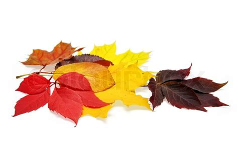Colorful Autumn Leaves Over White Background With Clipping Fall Leaves On White Background