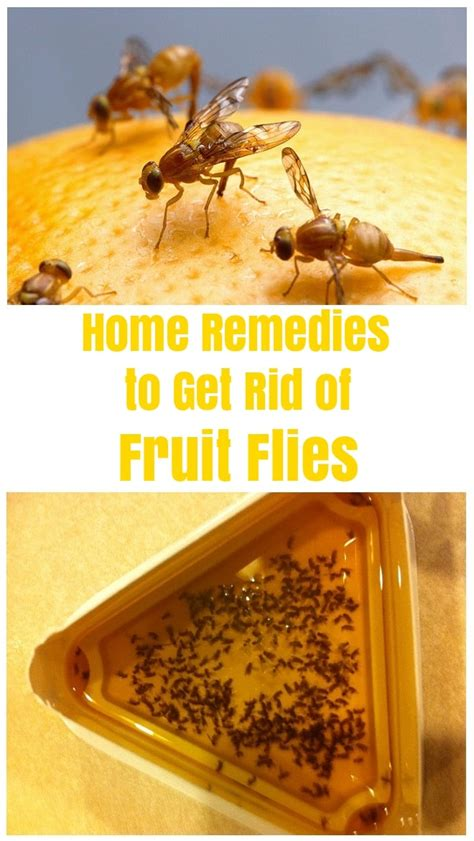 how to get rid of fruit flies and kill them fruit flies