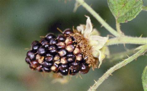 Brombeeren Krankheiten by Blackberry Rubus Spp Cell Berry