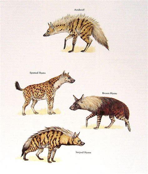 Aardwolf and Hyena Vintage 1984 Animals Book Plate