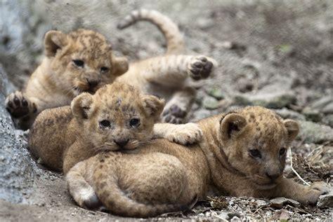 imagenes de leones tristes la mirada animal fotos de animales rtve es