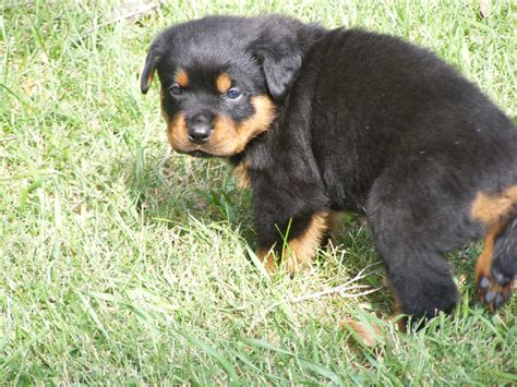 big rottweiler rottweiler www imgkid the image kid has it