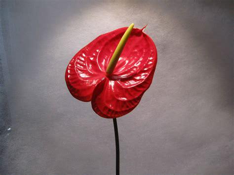 significato dei fiori anthurium l anthurium 232 un fiore elegante fiori a centro
