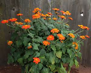 Flowering Perennials For Full Sun - tithonia rotundifolia the torch buy online at annie s
