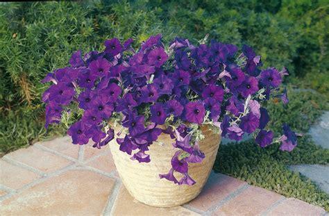 petunia blue wave garden housecalls