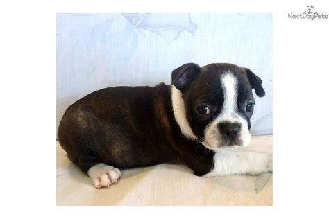 brindle boston terrier puppies brindle boston terrier puppies by margherita breeds picture