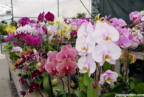 how often to water your phalaenopsis orchids plus all the things you need to consider