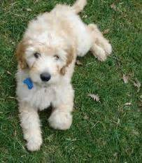 goldendoodle puppy nipping goldie s goldendoodle puppies past litters
