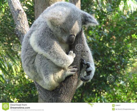 koala schlaf koala schlafen stockbild bild greifer gummi