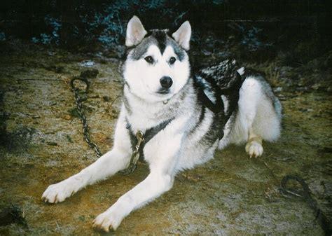 dogs for homes 50 exclusive siberian husky photos golfian