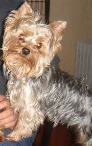 tea cup yorkie hair cuts haircuts yorkie dog breeds picture